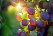 זני ענבים שכדאי לכם להכיר